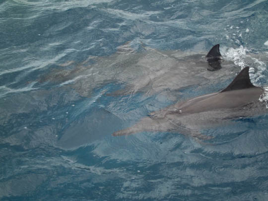 CASIO EX-ZS5で撮影したグアムのイルカ
